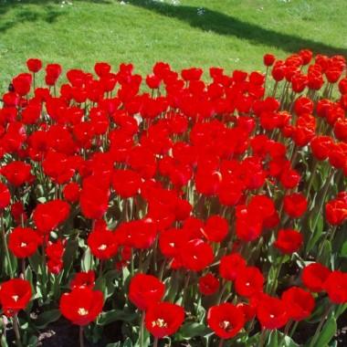 Tulipanowy zawrót głowy