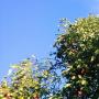 Rośliny, Jesienna galeria ...............z bombkami..... - ...................i jabłka w sadzie................