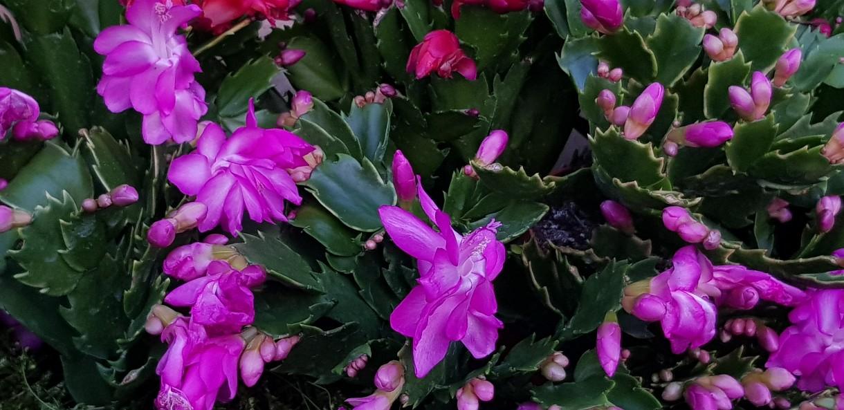 Rośliny, Kaktus bożonarodzeniowy, Grudnik, Zygokaktus, Schlumbergera .. - Kaktus bożonarodzeniowy, Grudnik, Zygokaktus, Schlumbergera ..