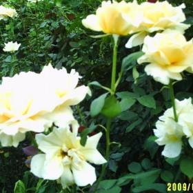 kwiaty i róże