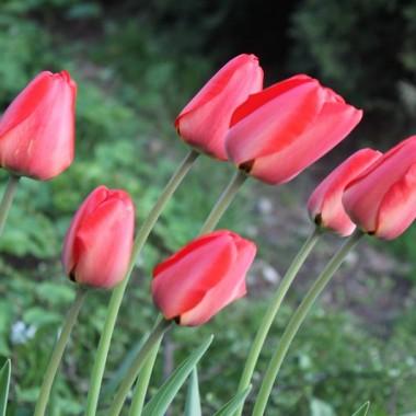 Moje wiosenne kwiaty