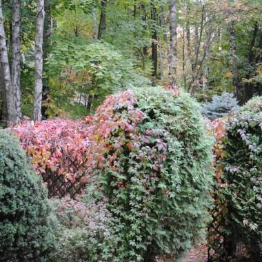 Winobluszcz już czerwony ...najmniejszy przymrozek i liście spadną :(