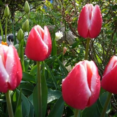 Ogród jest niezbyt duży, to 600m2 powierzchnia obsadzona drzewami, krzewami, kwiatami i trawnikiem. Kwiatów jest najwięcej, żona jest ich miłośniczką. Zawsze wiosną i jesienią wyszukuje w szkółkach ogrodniczych nowości. Obecnie trudno znaleźć miejsce dla kolejnych roślin, często trzeba zrezygnować z jednych aby posadzić inne. Ogród filmujemy, wykonujemy zdjęcia - wszystko po to, aby w zimowe wieczory wracać do piękna wiosny i lata w ogrodzie.