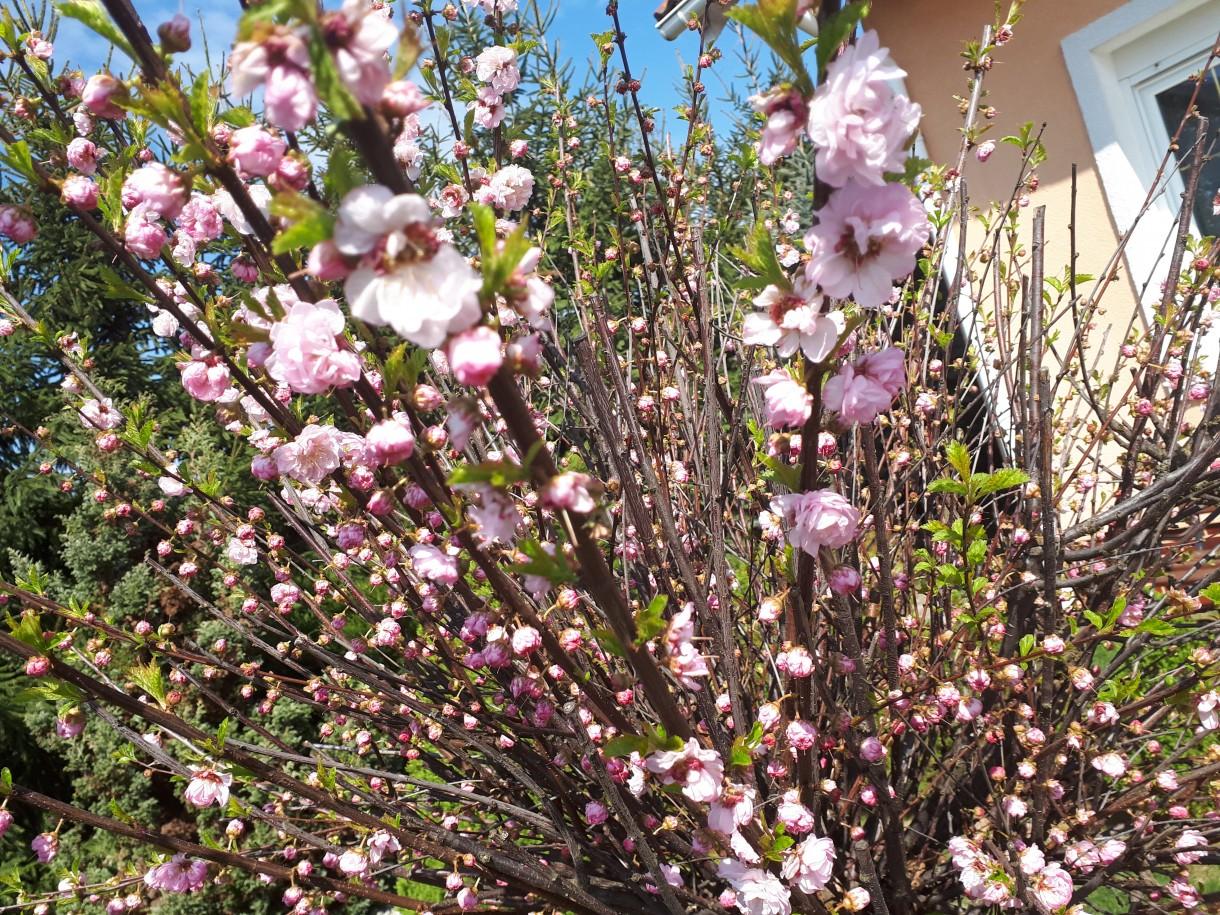 Ogród, Ogród wiosną... - Migdałek w rozkwicie