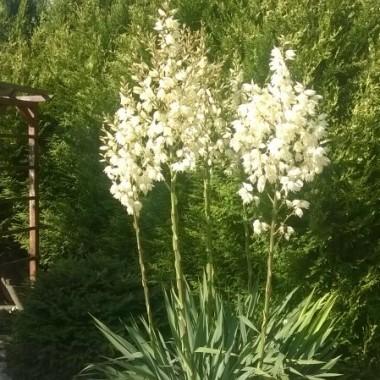Juki zaszalały w tym roku, najstarszy okaz miał 6 pędów kwiatowych...