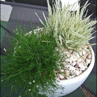 trawy w doniczce