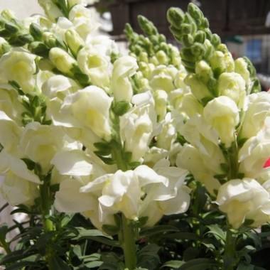 Kwiatki Uleńki