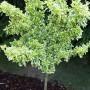 Ogród, Ogród wiosną... - Nasze drzewko trzmieliny wędruje sobie po ogrodzie