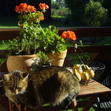 pelargonia i kotka