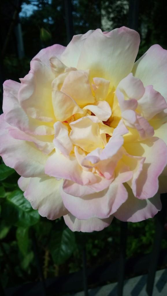 Rośliny, Czerwcowe róże ................. - ...............i róża w pełnej krasie.............