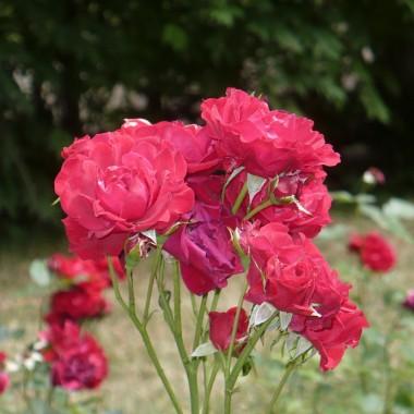 ................i róże..................