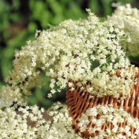 Kwiaty czarnego bzu (Sambucus nigra): zbieranie, właściwości i zastosowanie