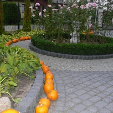 Jedyne warzywo ,które uprawiam na mojej dziełce tylko po to żeby jesienią jak już niewiele kwiatów jest w ogrodzie cieszyc się ich widokiem, ustawiam wszędzie. W tym roku pozyskałam jeszcze pigwę, gdyż mam ochotę zrobic tzw. pigwówkę.  Na razie ozdabia mój dom i wydziela ładny cytrynowy zapach, ale pójdzie pod nóz.