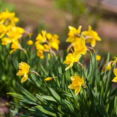 """ŻonkilŻonkile to potoczna nazwa narcyzów trąbkowych. Żółte kwiaty wprowadzą na wiosenny balkon słoneczny blask. Szczególnie warto polecić odmiany """"Dutch Master"""" i """"Golden Harvest"""". Na szczęście te dekoracyjne rośliny nie mają specjalnych wymagań względem uprawy. Wystarczy, że zapewnimy im przepuszczalną, ale nie suchą, glebę. Możemy je również posadzić w półcieniu. Coroczne wykopywanie cebul nie jest konieczne pod warunkiem systematycznego zasilania nawozami w sezonie."""