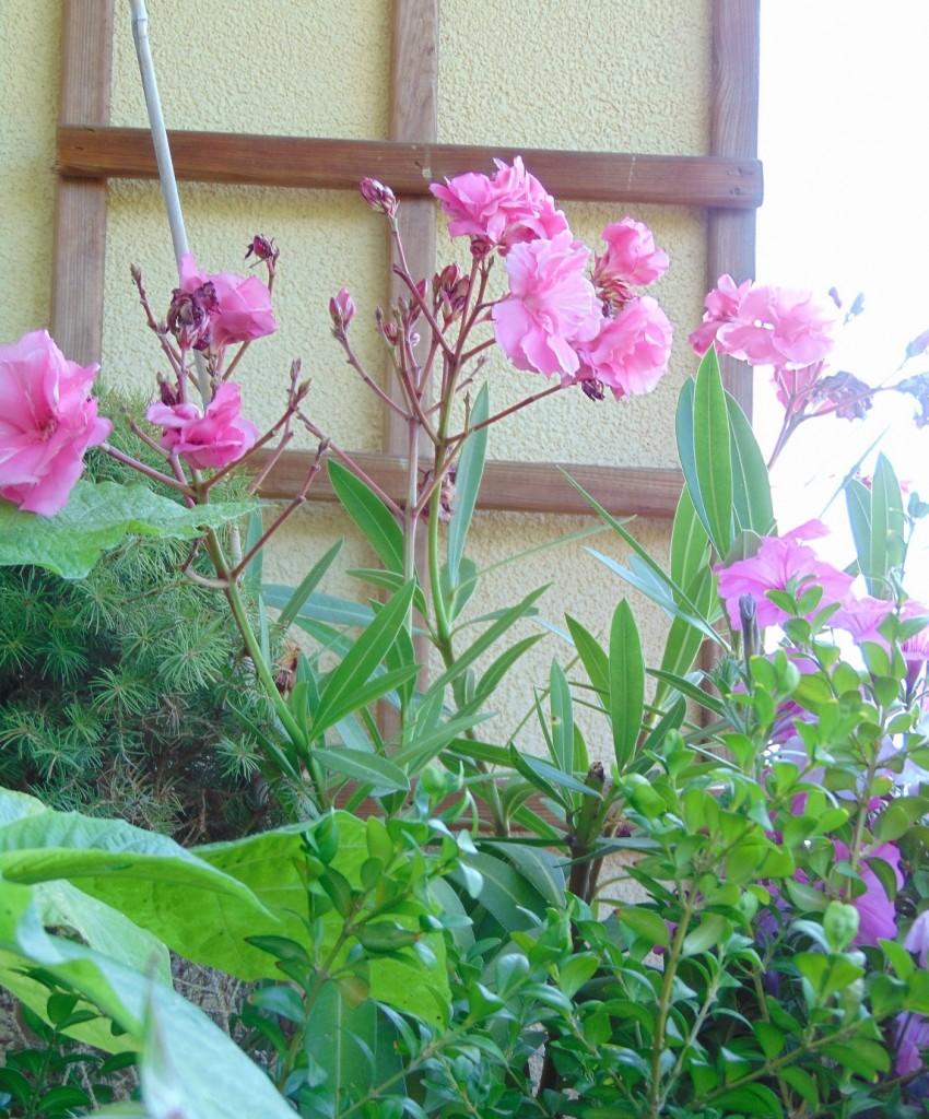 Balkon, Lato na moim balkonie ................. - .............i oleandry wciąż kwitną.............