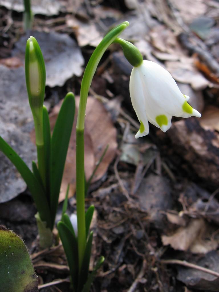 """Rośliny, Przedwiośnie - Dziko rosnąca w rezerwacie """" Śnieżycowy Jar"""" śnieżyczka :)))"""