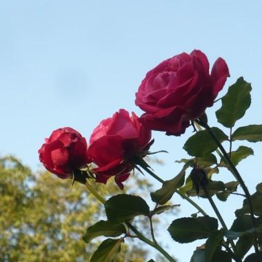 ......................i róże.................