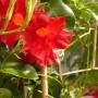 Balkon, Wrześniowe, wciąż  letnie fotki.................... - ...................i kwiaty w kolorze wina...................