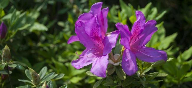 Azalie wielkokwiatowe – królowe maja