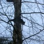 Pozostałe, Podusia dla .. dzidziusia. - Kot akrobata.Blokowy kiciuś, którego niektórzy z nas dokarmiają często wspina się na brzozę rosnącą pod blokiem.