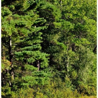 """Nad błotnistym jeziorem ukrytym w lesie mam takie swoje miejsce ,które odwiedzam kilka razy w roku..I zawsze przypomina mi się """"Świteź"""".Widoki psują współczesne elementy&#x3B;przelewy,Śluzy...mostki. Ale i tak drzewa i roŚliny żyją  swoim odwiecznym rytmem. Teraz czas odmierza jesień. Lato broni się swoimi  kolorami ,ale...coraz więcej odcieni żółci,czerwieni...Lubię wszystkie pory roku.Nawet mroźną Panią Zimę za jej biel ,która przykrywa brudy tego Świata.Pod warunkiem,że nie trwa długo. Jesień zawsze wprowadza mnie w nastrój zadumy i wspomnień ,zapachami przenosi w czas przeszły...I tak jest dobrze..."""