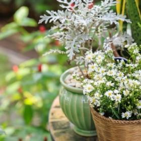 Kwiaty doniczkowe trujące dla psa