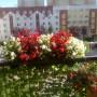 Pozostałe, balkon - Begonie drobno kwitnące już pod koniec lata. Niestety balkon południowy, a więc patelnia i czerwone begonie miały liście popalone słońcem, białym nie było nic.