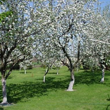 I znow zakwitły jabłonie... czyli maj w moim ogrodzie
