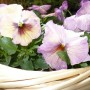 Pozostałe, Bratki i inne kwiatki...................... - .............i brateczki liliowe...........