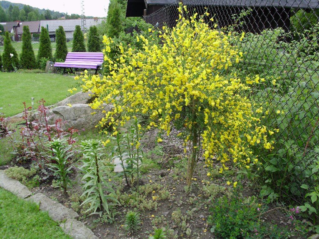 Ogród, Majowo-czerwcowy ogród Ewy - Szczodrzeniec przezimował i zachwyca kolorem.