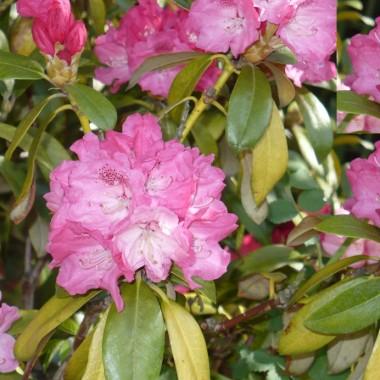 ............i rododendron obsypany kwiatami...........