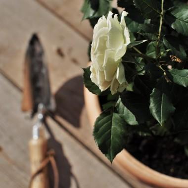 róże i pelaśki ....