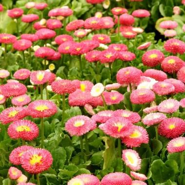 """StokrotkaTe sympatyczne kwiatki wiosenne lubią glebę próchniczną i umiarkowanie wilgotną. Mogą rosnąć w pełnym słońcu lub lekko zacienionym miejscu. Regularnie odżywiane płynnym nawozem odwdzięczą się obfitym kwitnieniem od kwietnia do czerwca. Później ich uroda blednie i trzeba je wymienić na pelargonie lub inne okazy, które ozdobią balkon do końca sezonu. Stokrotki, zależnie od odmiany mają kwiaty mniej lub bardziej pełne, zakwitają w odcieniach bieli (np. odmiana """"The Pearl""""), różu (np. odmiana """"Dresden China"""") i czerwieni (np. odmiana """"RobRoy"""")."""