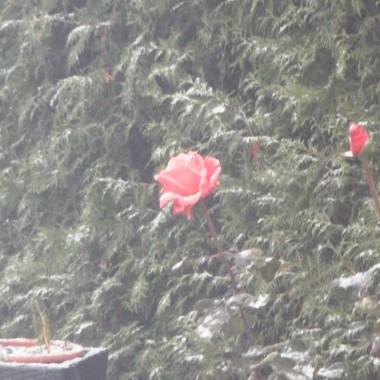 Moje kochane róże nie chciały się poddac i walczyły do końca ,nie dały się zimie,piękny widok za okna