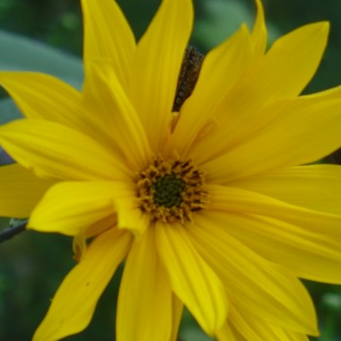 ............i słoneczny kwiat.........