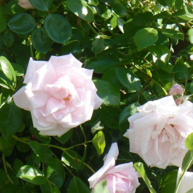 .................i delikatne blado różowe...............
