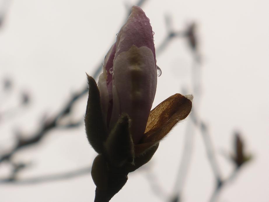 Pozostałe, Kwietniowa .........wiosenna...........błękitna.......... - ..............i pąk magnolii...........