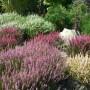 Ogród, Nareszcie wrzosy ... - ...