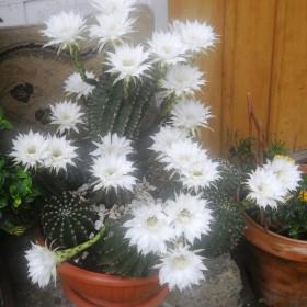 Tegoroczny kaktus