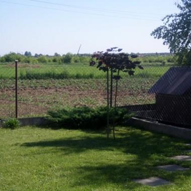 """klon, za nim nasz ogródek warzywny, a """"niedalekiej oddali""""...robi się autostrada :("""