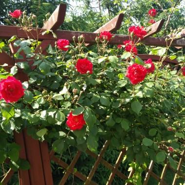 pergola pięknie kwitną róże