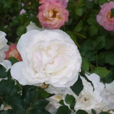 ...............i róże...............