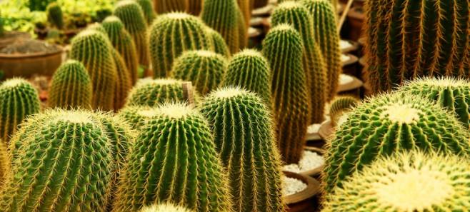 Co robić, gdy kaktus nie chce zakwitnąć?