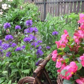 Mój wiejski,ukwiecony ogródek.