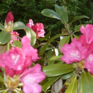 ................i rododendron różowy...............