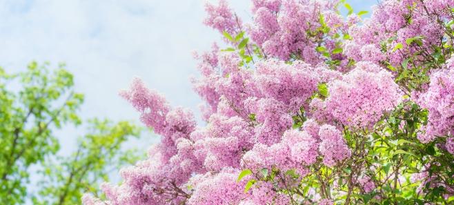 Krzew miesiąca: bez, czyli lilak. Jak go pielęgnować?