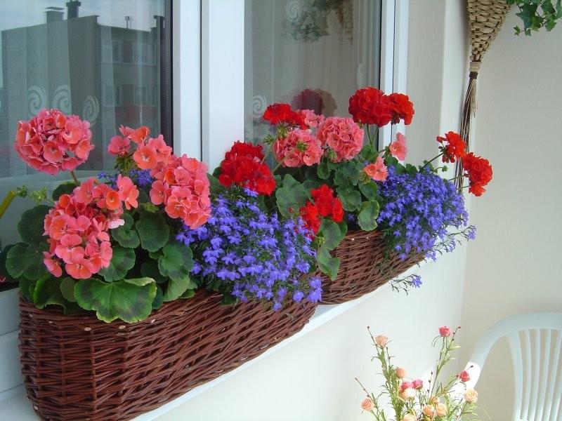 Pozostałe, Mój balkonowy ogródek - Moje kwiaty dziś-18.06.2010