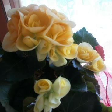 Żółciutka begonia cieszy moje oczy...