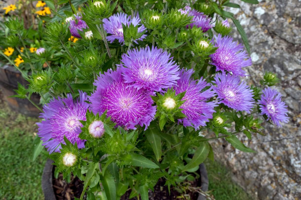 Rośliny, Jesienne kwiaty na balkon - Astry, potocznie nazywane marcinkami  Subtelne i niezwykle dekoracyjne astry to kolejne kwiaty balkonowe, które kwitną jesienią. Zachwycają bezpretensjonalnymi kwiatkami z żółtym środkiem i płatkami w odcieniach fiolety, różu i czerwieni.  Fot.123RF.com