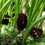 Rośliny, Przywolywanie wiosny :) - Moje bratki :)